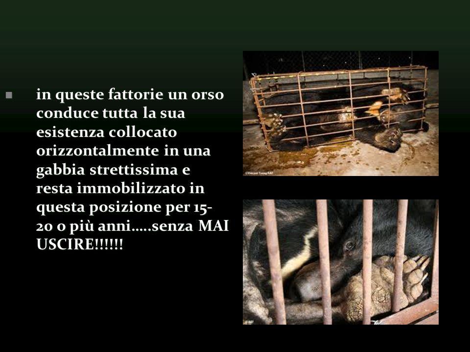 in queste fattorie un orso conduce tutta la sua esistenza collocato orizzontalmente in una gabbia strettissima e resta immobilizzato in questa posizione per 15- 20 o più anni…..senza MAI USCIRE!!!!!!
