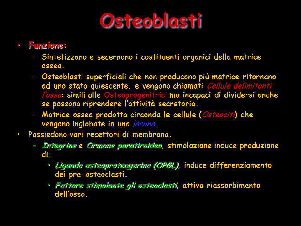 Osteoblasti Funzione: