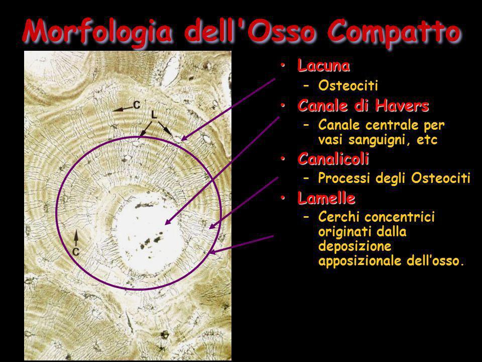 Morfologia dell Osso Compatto