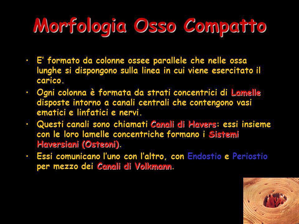 Morfologia Osso Compatto