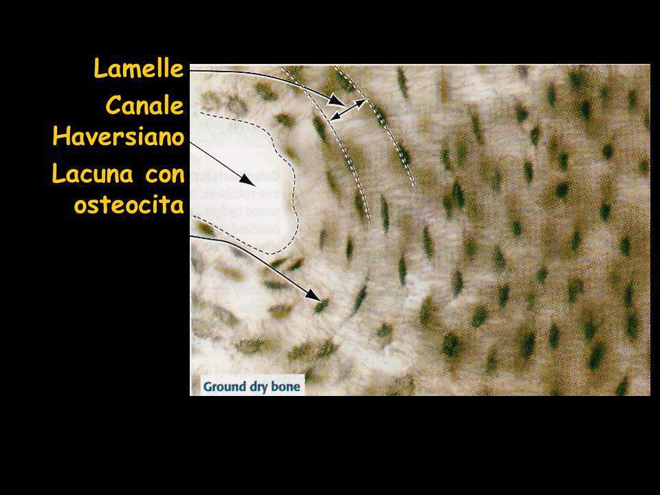 Lamelle Canale Haversiano Lacuna con osteocita