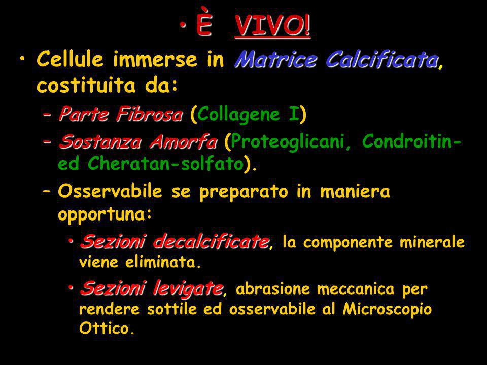 È VIVO! Cellule immerse in Matrice Calcificata, costituita da: