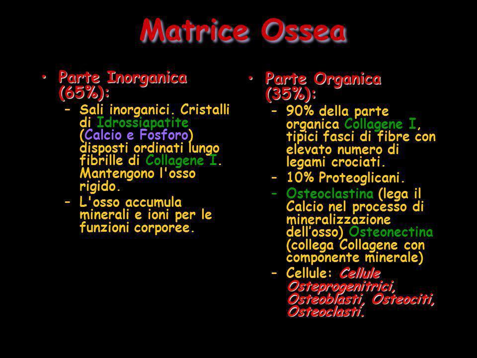 Matrice Ossea Parte Inorganica (65%): Parte Organica (35%):