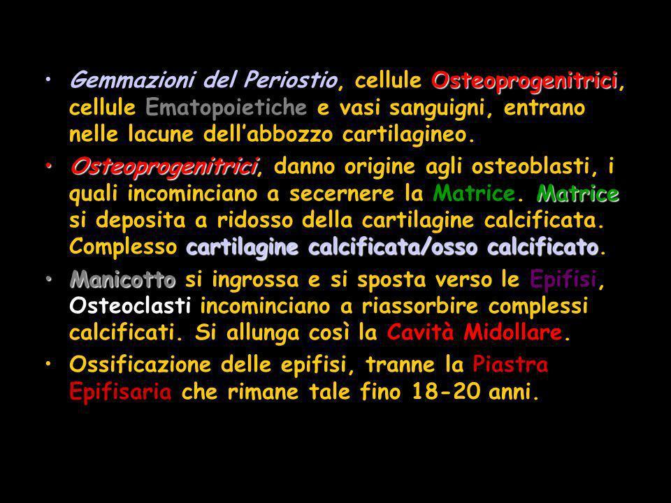 Gemmazioni del Periostio, cellule Osteoprogenitrici, cellule Ematopoietiche e vasi sanguigni, entrano nelle lacune dell'abbozzo cartilagineo.