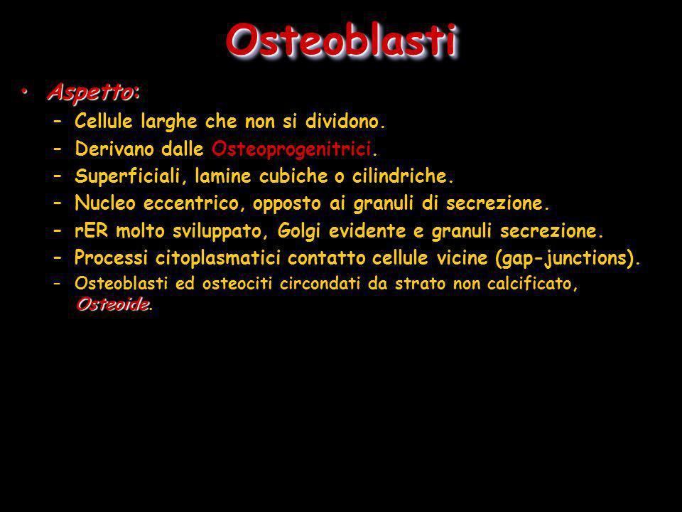 Osteoblasti Aspetto: Cellule larghe che non si dividono.
