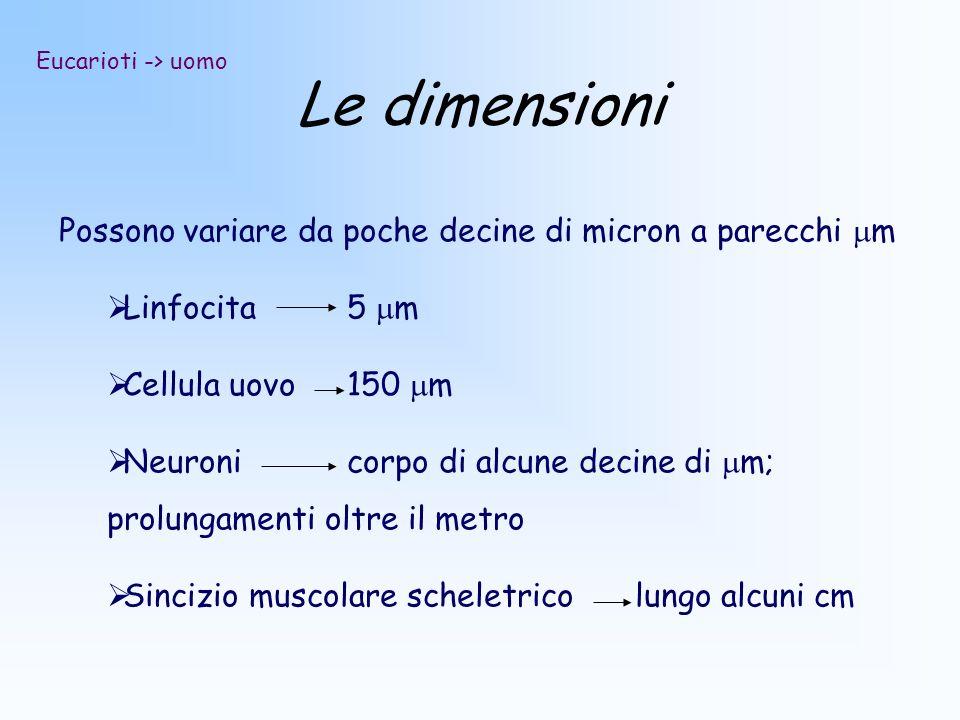 Le dimensioni Possono variare da poche decine di micron a parecchi mm