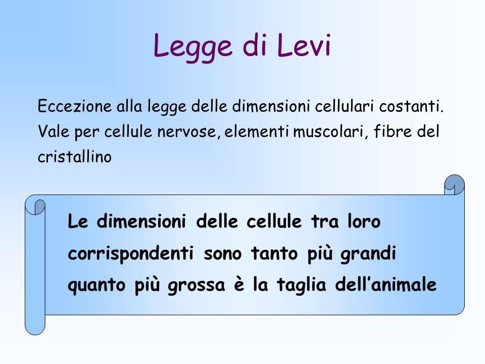 Legge di Levi Eccezione alla legge delle dimensioni cellulari costanti. Vale per cellule nervose, elementi muscolari, fibre del cristallino.