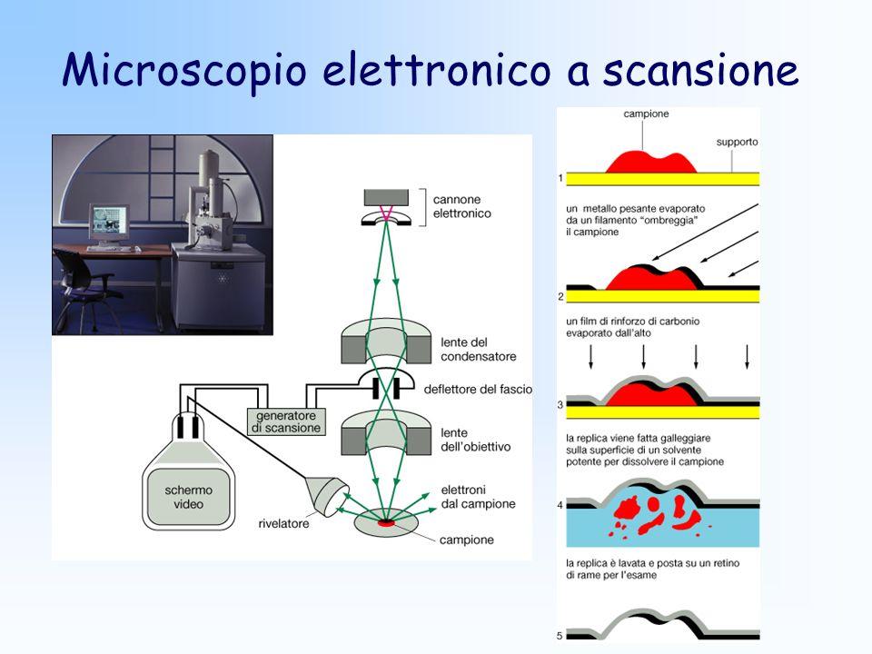 Microscopio elettronico a scansione