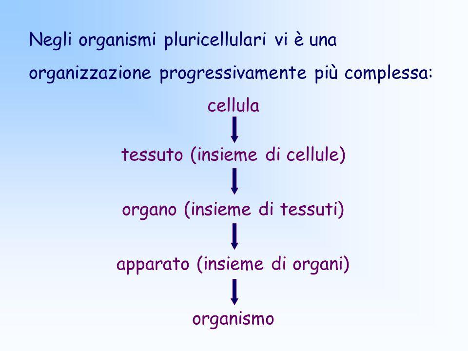 tessuto (insieme di cellule)