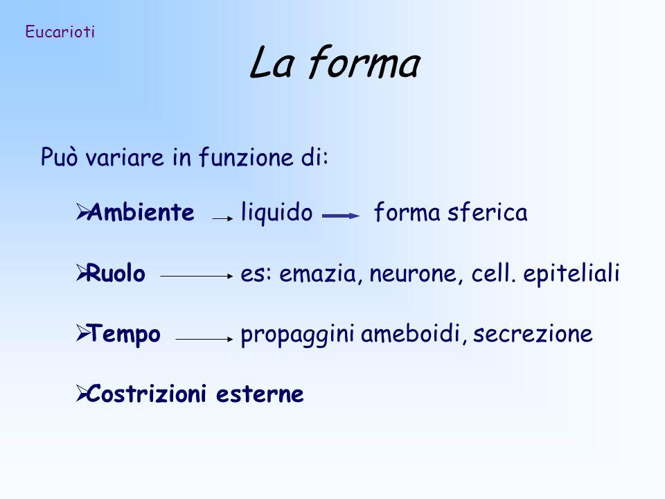 La forma Può variare in funzione di: Ambiente liquido forma sferica