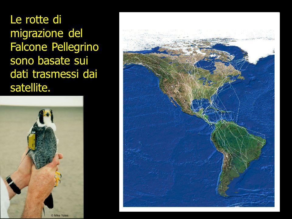 Le rotte di migrazione del Falcone Pellegrino sono basate sui dati trasmessi dai satellite.