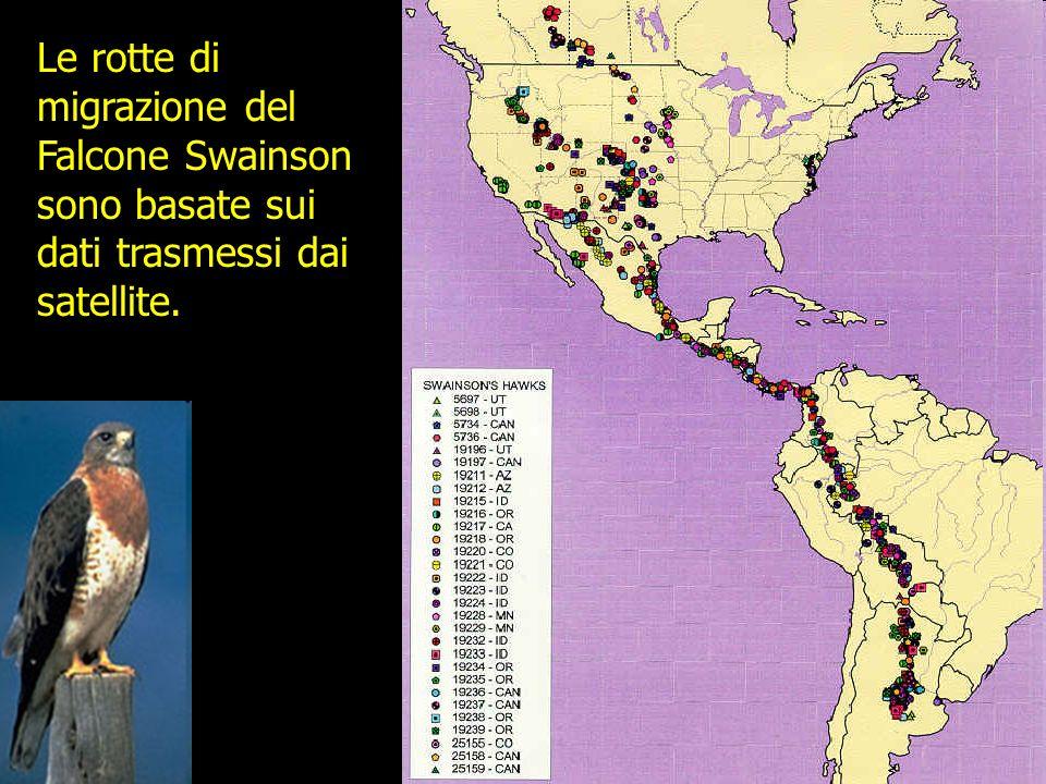 Le rotte di migrazione del Falcone Swainson sono basate sui dati trasmessi dai satellite.