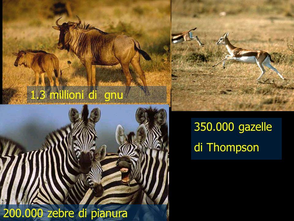 1.3 millioni di gnu 350.000 gazelle di Thompson