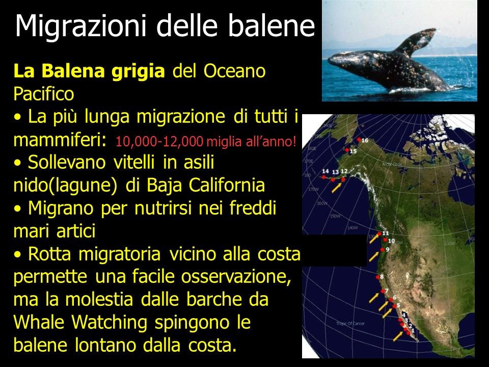 Migrazioni delle balene
