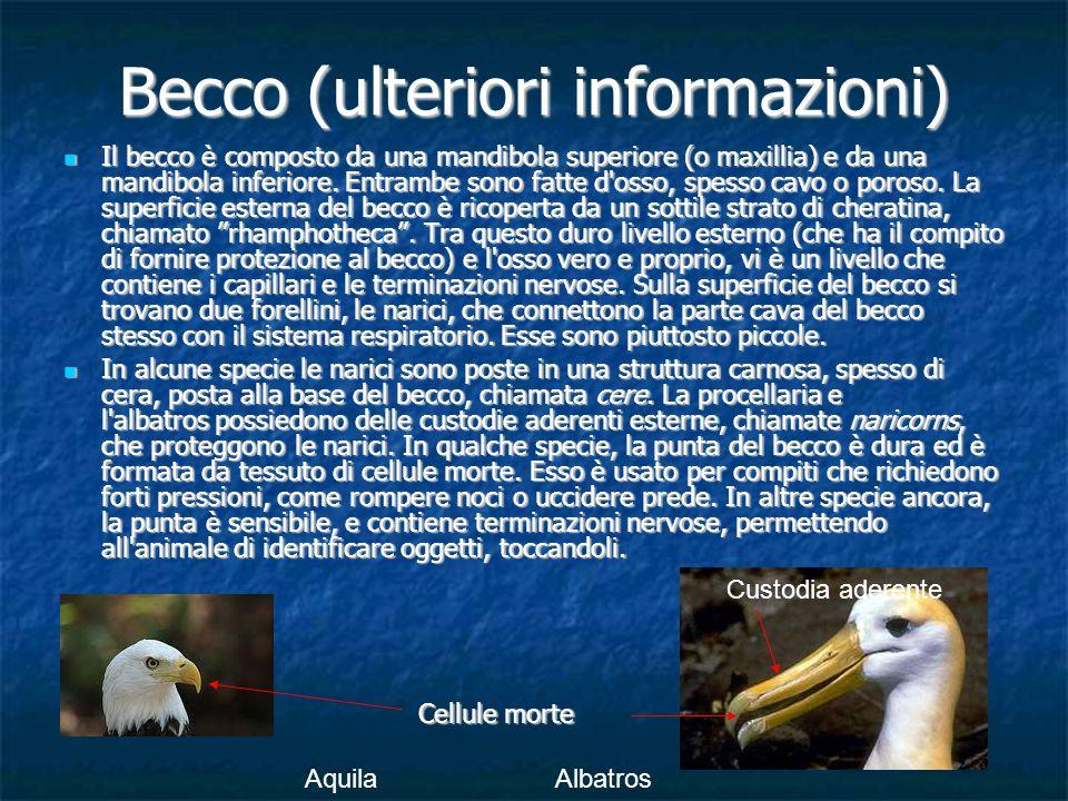 Becco (ulteriori informazioni)
