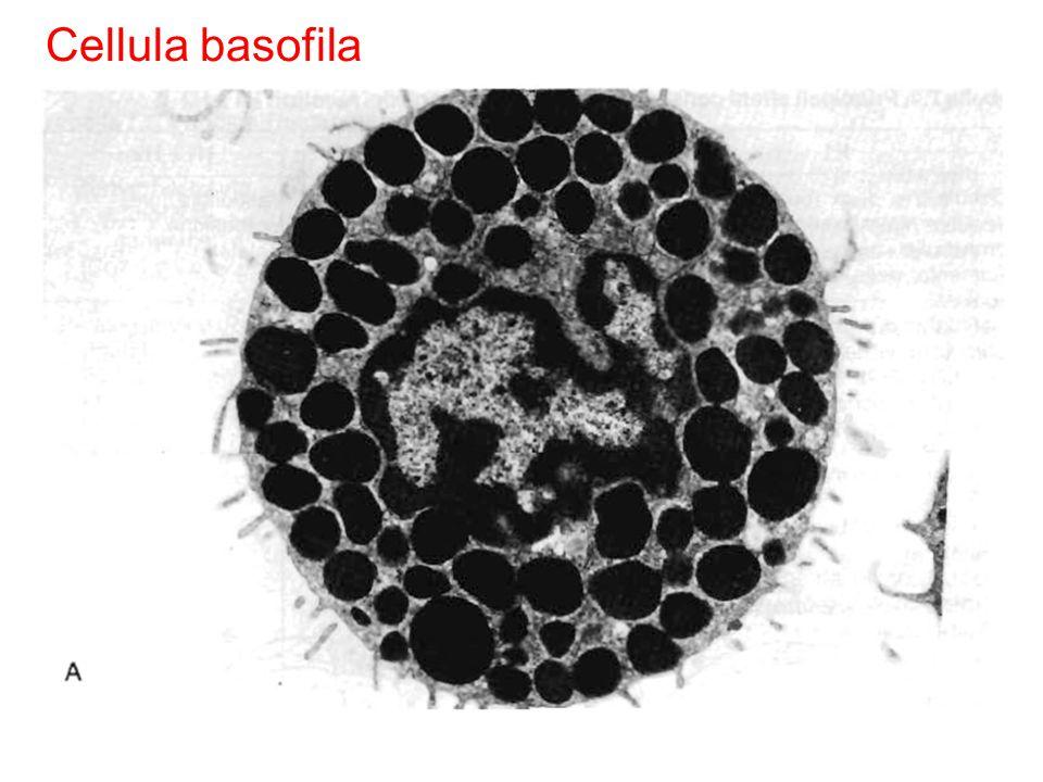 Cellula basofila Fig. 7.7 Fig. 5.4