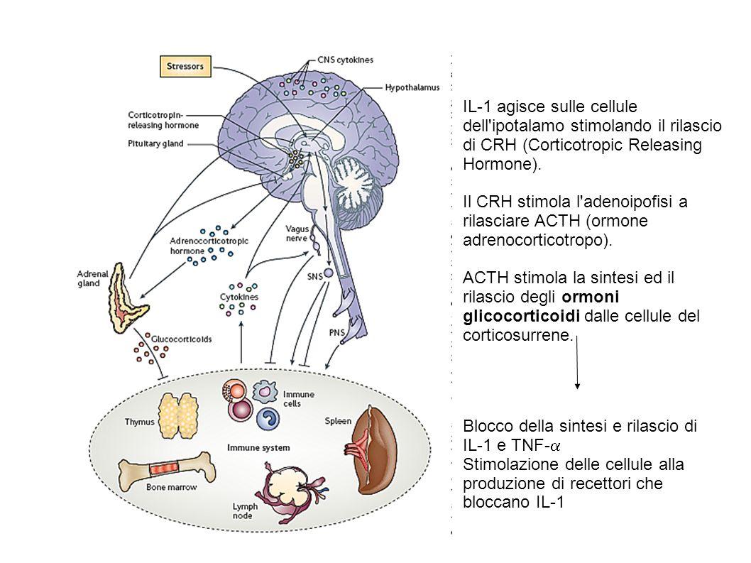 IL-1 agisce sulle cellule dell ipotalamo stimolando il rilascio di CRH (Corticotropic Releasing Hormone).