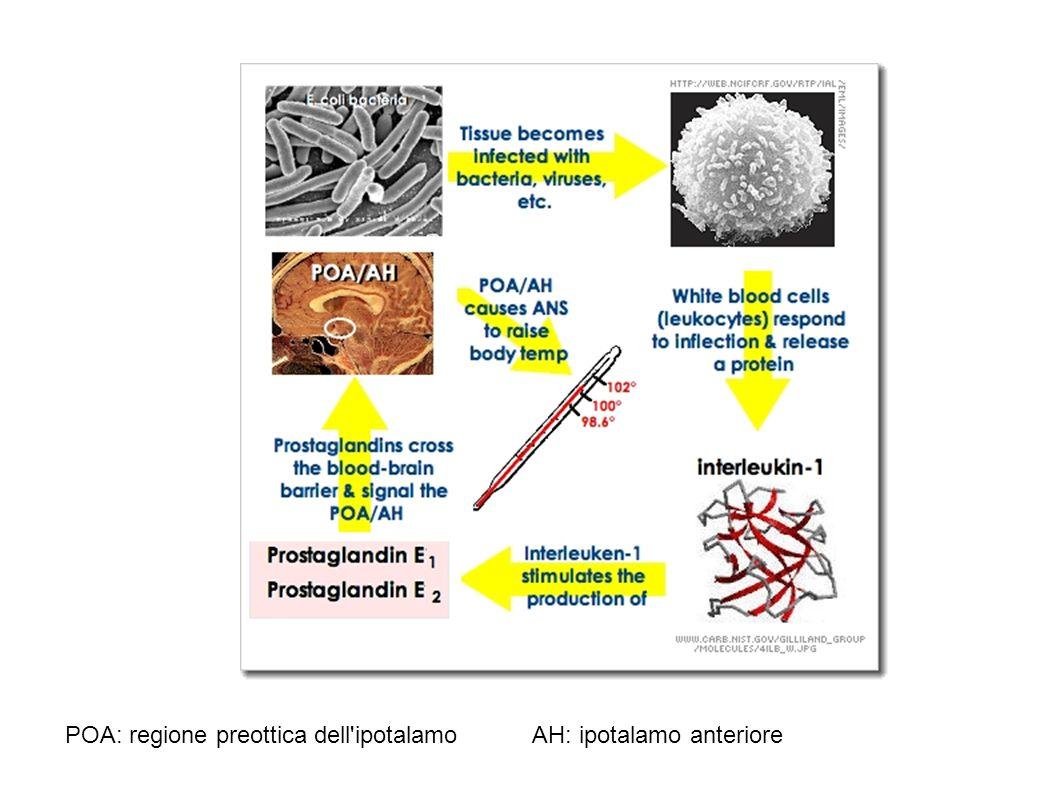POA: regione preottica dell ipotalamo AH: ipotalamo anteriore