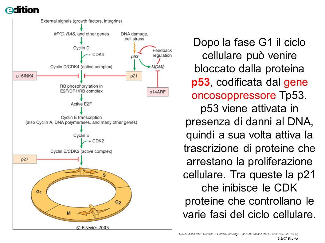Dopo la fase G1 il ciclo cellulare può venire bloccato dalla proteina p53, codificata dal gene oncosoppressore Tp53. p53 viene attivata in presenza di danni al DNA, quindi a sua volta attiva la trascrizione di proteine che arrestano la proliferazione cellulare. Tra queste la p21 che inibisce le CDK proteine che controllano le varie fasi del ciclo cellulare.