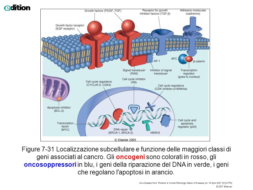 Figure 7-31 Localizzazione subcellulare e funzione delle maggiori classi di geni associati al cancro. Gli oncogeni sono colorati in rosso, gli oncosoppressori in blu, i geni della riparazione del DNA in verde, i geni che regolano l apoptosi in arancio.