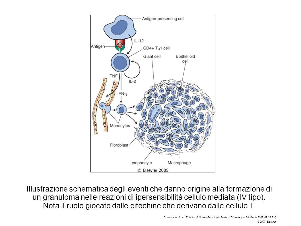 Nota il ruolo giocato dalle citochine che derivano dalle cellule T.