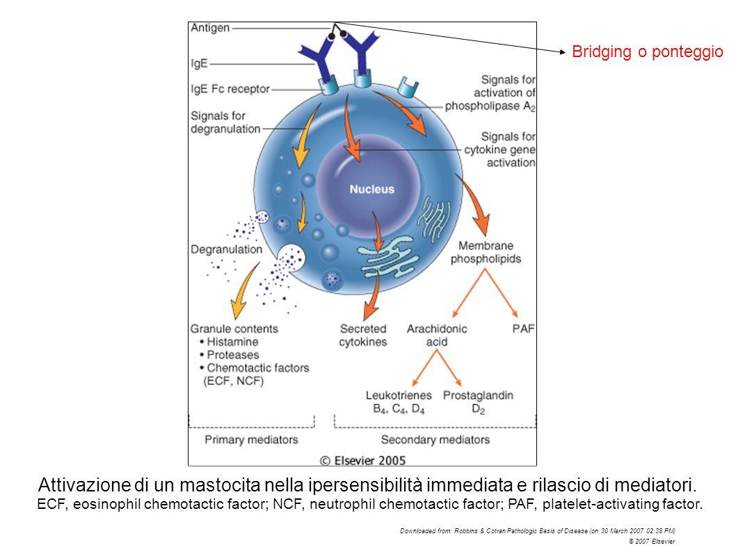 Bridging o ponteggio Le IgE si legano con il loro frammento Fc a recettori sulla superficie di diverse cellule.