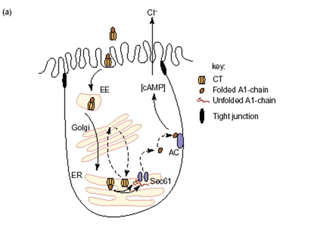 La tossina colerica è una proteina di 87 kDa costituita da una subunità A e da 5 sununità B. La B si lega a recettori cellulari, i gangliosidi GM1 ed aiuta l internalizzazione della subunità A nel citosol della cellula.