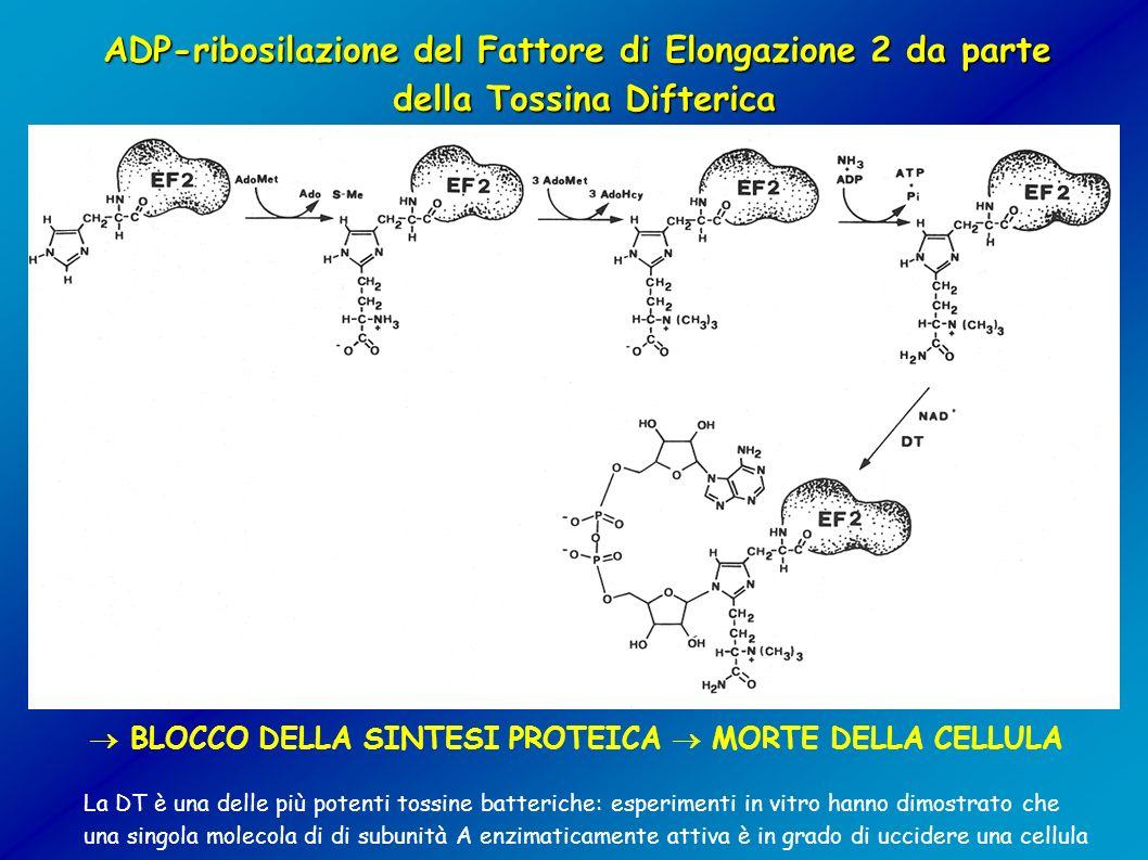 ADP-ribosilazione del Fattore di Elongazione 2 da parte