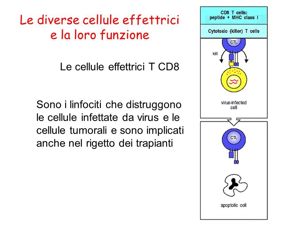 Le diverse cellule effettrici e la loro funzione