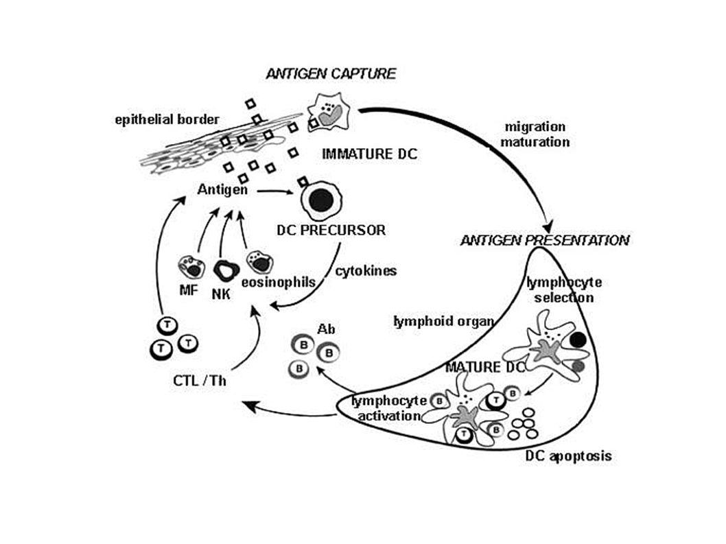 Le APC dopo aver fagocitato la sostanza estranea migrano verso i linfonodi e in questa sede espongono peptidi ottenuti dalla digestione della sostanza ingerita alle cellule TCD4.