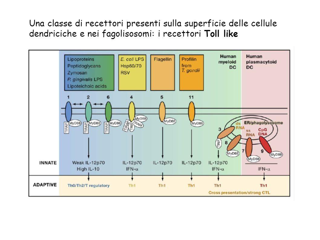 Una classe di recettori presenti sulla superficie delle cellule dendriciche e nei fagolisosomi: i recettori Toll like