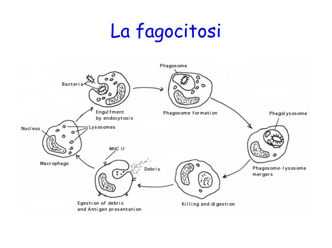 La fagocitosi