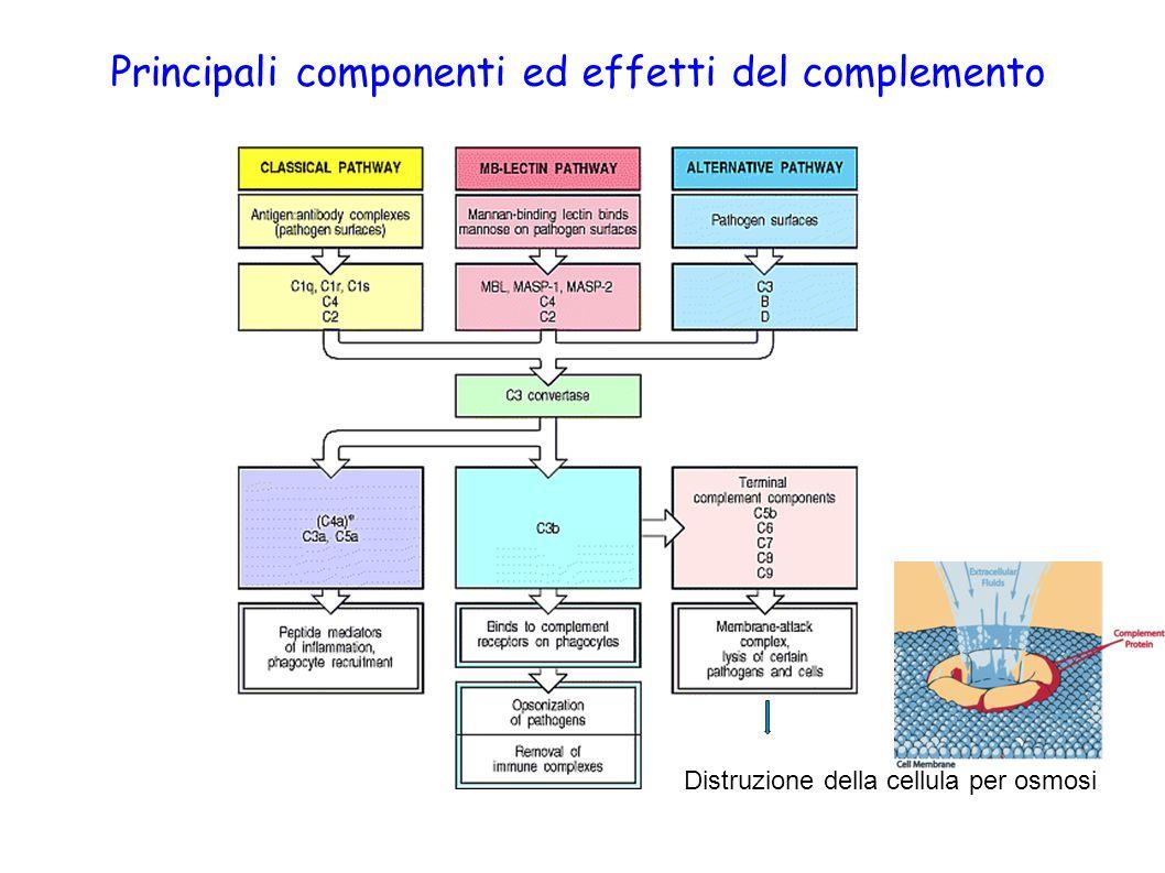 Principali componenti ed effetti del complemento