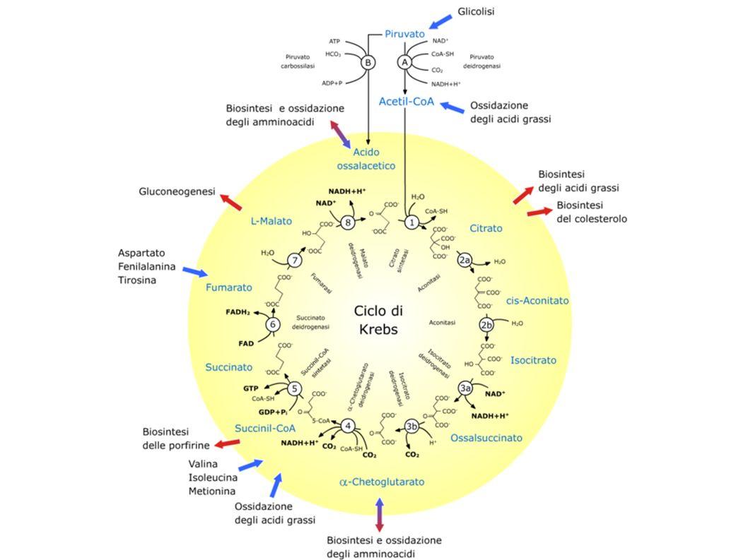 Il ciclo di Krebs (anche detto ciclo degli acidi tricarbossilici o ciclo dell acido citrico) è un ciclo metabolico di importanza fondamentale in tutte le cellule che utilizzano ossigeno nel processo della respirazione cellulare. In questi organismi aerobici, il ciclo di Krebs è l anello di congiunzione delle vie metaboliche responsabili della degradazione (catabolismo) dei carboidrati, dei grassi e delle proteine in anidride carbonica e acqua con la formazione di energia chimica.