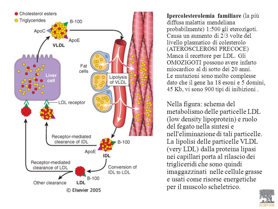 Ipercolesterolemia familiare (la più diffusa malattia mendeliana probabilmente) 1:500 gli eterozigoti. Causa un aumento di 2/3 volte del livello plasmatico di colesterolo (ATEROSCLEROSI PRECOCE)