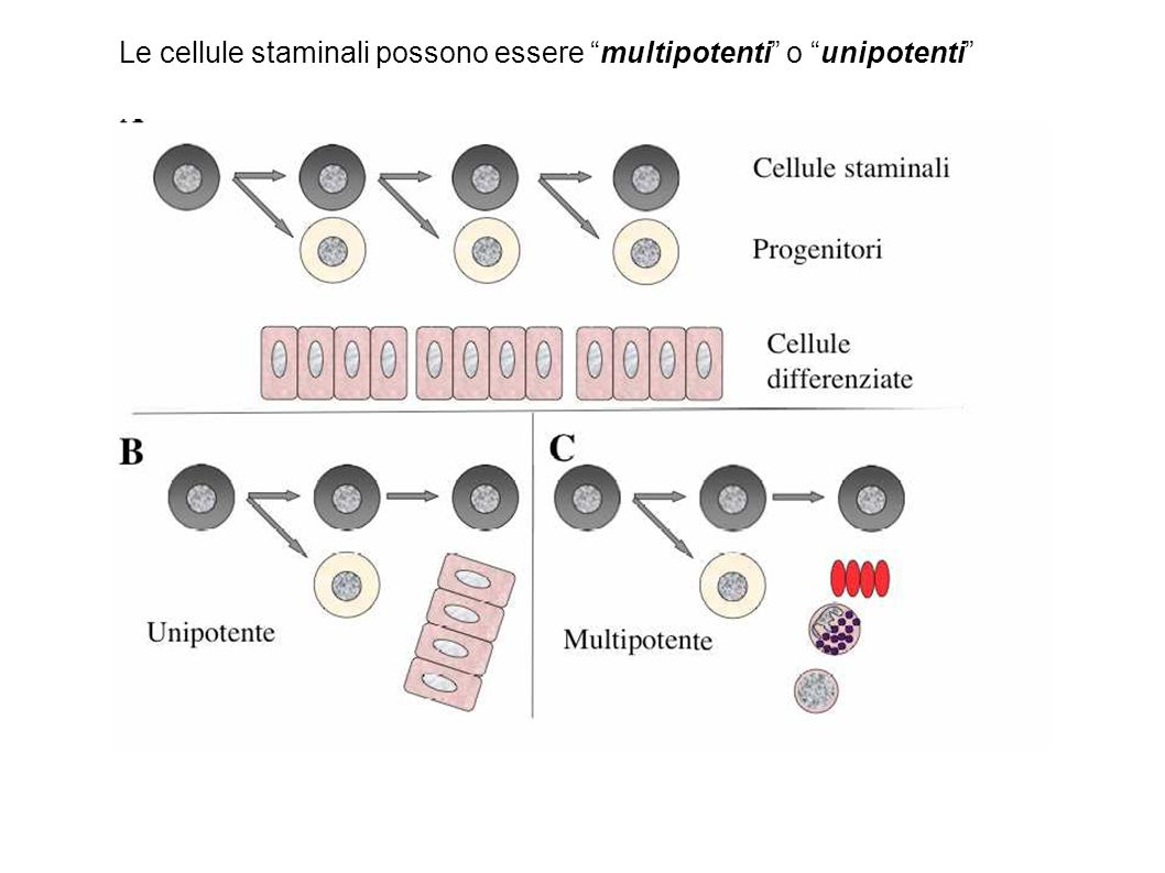 Le cellule staminali possono essere multipotenti o unipotenti