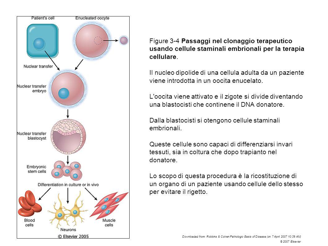 Dalla blastocisti si otengono cellule staminali embrionali.