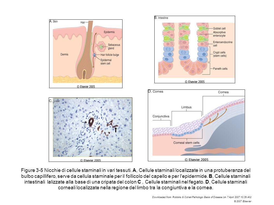 Figure 3-5 Nicchie di cellule staminali in vari tessuti