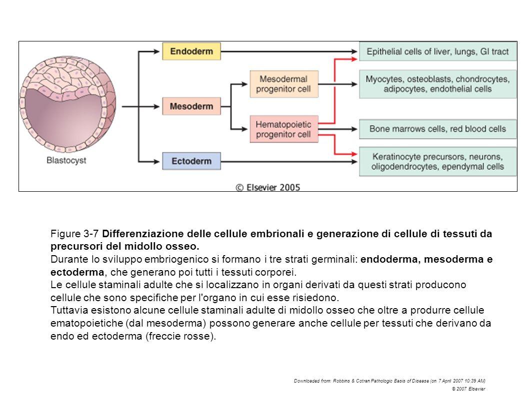 Figure 3-7 Differenziazione delle cellule embrionali e generazione di cellule di tessuti da precursori del midollo osseo.