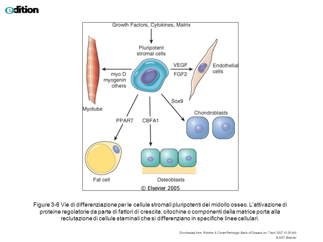 Figure 3-6 Vie di differenziazione per le cellule stromali pluripotenti del midollo osseo. L attivazione di proteine regolatorie da parte di fattori di crescita, citochine o componenti della matrice porta alla reclutazione di cellule staminali che si differenziano in specifiche linee cellulari.