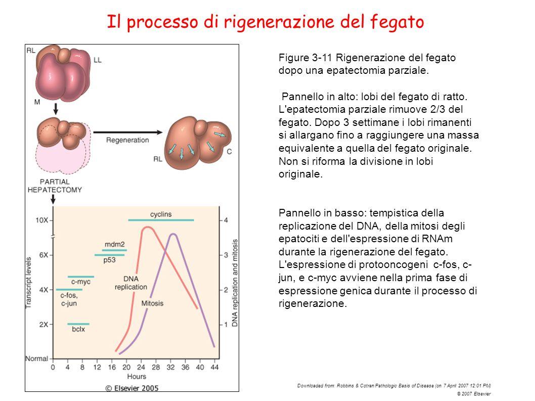 Il processo di rigenerazione del fegato