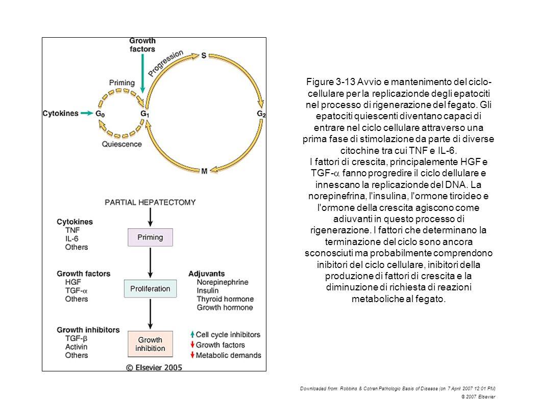 Figure 3-13 Avvio e mantenimento del ciclo-cellulare per la replicazionde degli epatociti nel processo di rigenerazione del fegato. Gli epatociti quiescenti diventano capaci di entrare nel ciclo cellulare attraverso una prima fase di stimolazione da parte di diverse citochine tra cui TNF e IL-6.