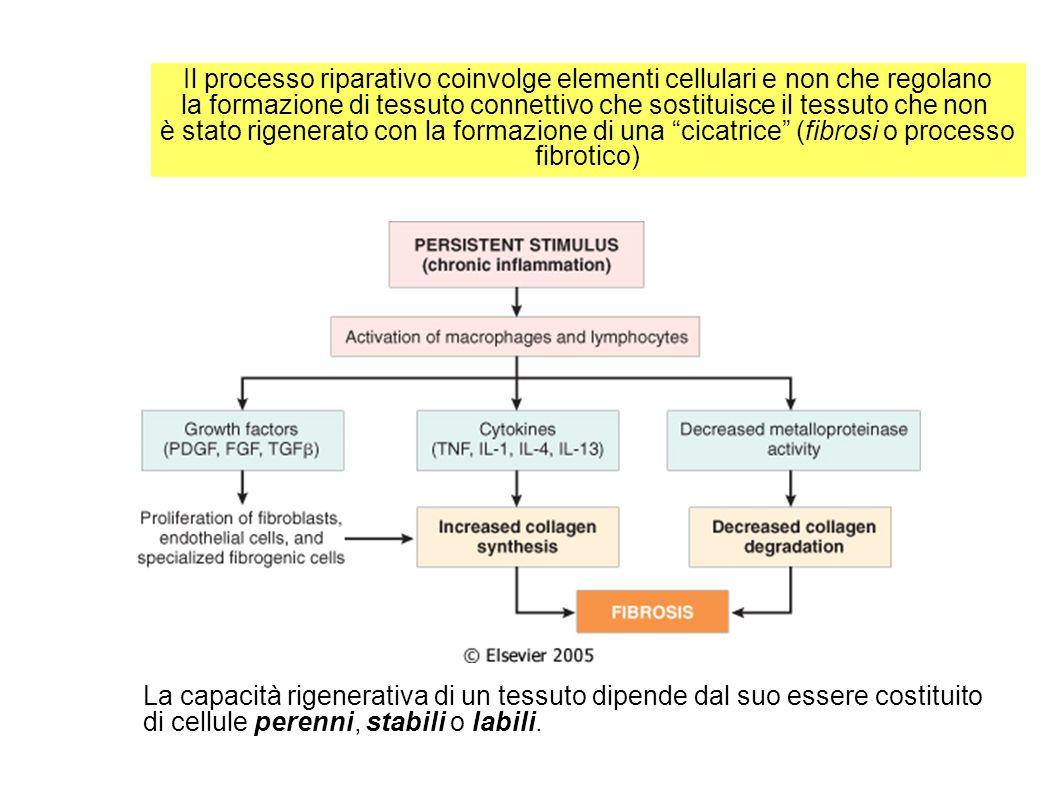 Il processo riparativo coinvolge elementi cellulari e non che regolano