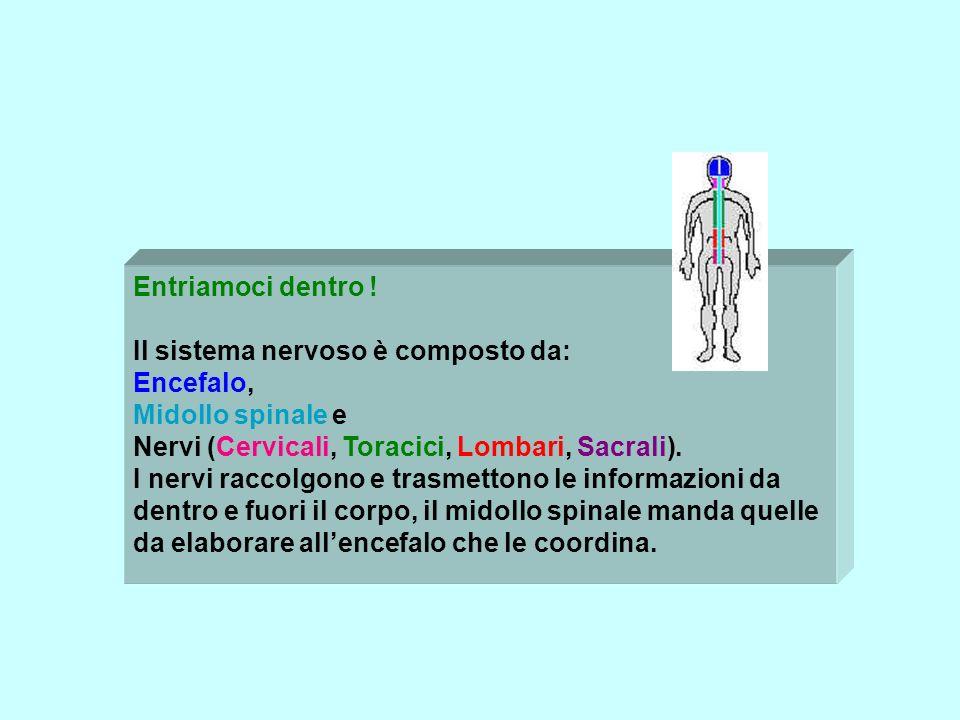 Entriamoci dentro ! Il sistema nervoso è composto da: Encefalo, Midollo spinale e Nervi (Cervicali, Toracici, Lombari, Sacrali).
