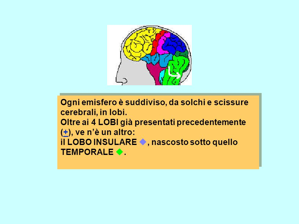 Ogni emisfero è suddiviso, da solchi e scissure cerebrali, in lobi.