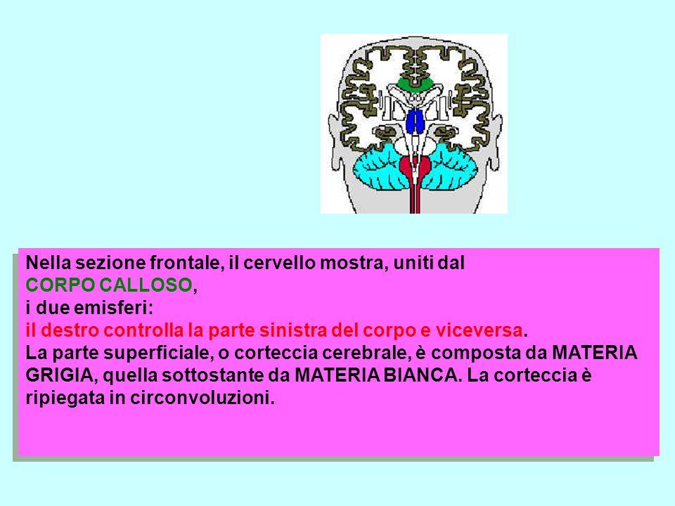 Nella sezione frontale, il cervello mostra, uniti dal CORPO CALLOSO, i due emisferi: il destro controlla la parte sinistra del corpo e viceversa.