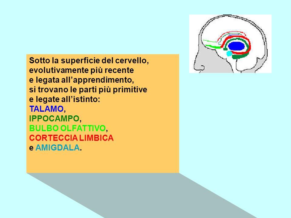 Sotto la superficie del cervello, evolutivamente più recente e legata all'apprendimento, si trovano le parti più primitive e legate all'istinto: TALAMO, IPPOCAMPO, BULBO OLFATTIVO, CORTECCIA LIMBICA e AMIGDALA.