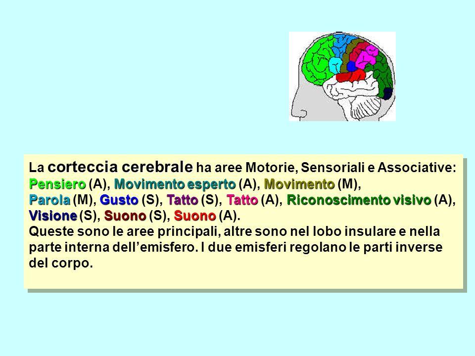 La corteccia cerebrale ha aree Motorie, Sensoriali e Associative:
