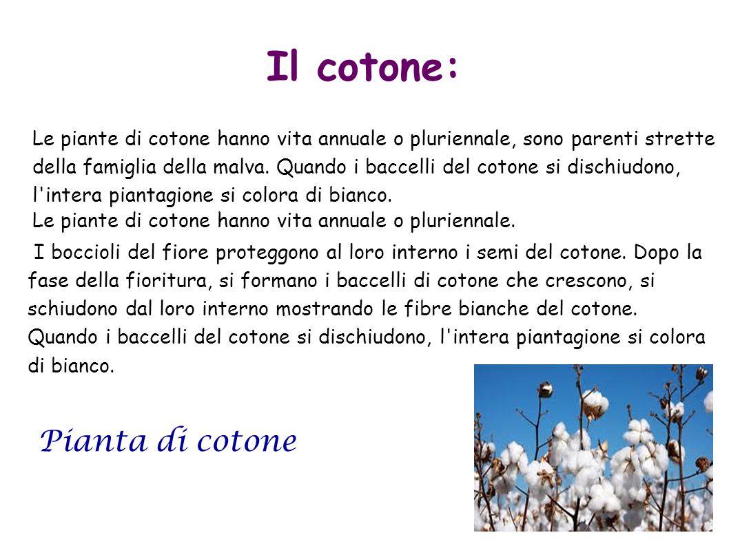 Il cotone: Pianta di cotone