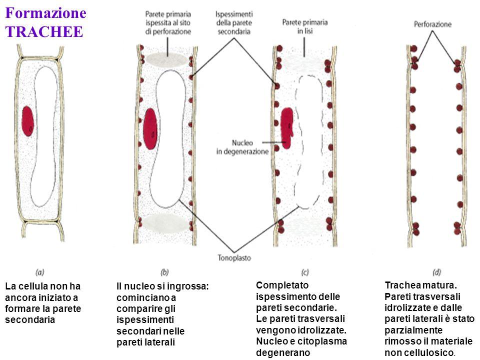Formazione TRACHEE La cellula non ha ancora iniziato a formare la parete secondaria.